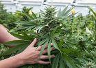Poznańscy naukowcy opracowali tabletkę przeciwbólową na bazie marihuany