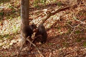 Szczęśliwe misie w bieszczadzkim lesie. Leśnik przyłapał je na wspólnej zabawie