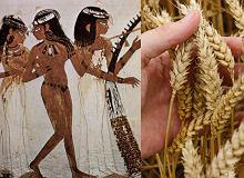 Jak wyglądał test ciążowy w starożytnym Egipcie? Wystarczył woreczek zboża. Naukowcy odkryli papirus z opisem tej metody