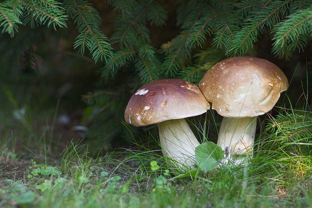 Prawdziwki (borowiki szlachetne) znajdziesz i w lasach liściastych, i w lasach iglastych.