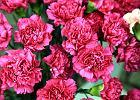 Kwiaty-najpopularniejszy prezent na Dzień Kobiet
