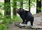 Przez 12 godzin uciekała w głąb lasu przed wilkiem. Uratowała ją niedźwiedzica