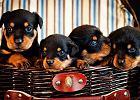 Rottweiler nie jest krwio�ercz�, bezmy�ln� besti� [list]