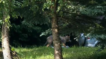 Bieszczady. Wilk, który zaatakował dzieci miał już kontakt z człowiekiem?