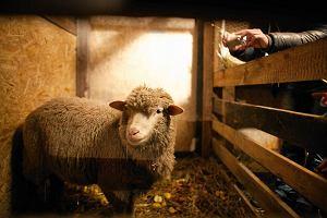 Czytelnicy alarmują: zmęczone zwierzęta w żywych szopkach