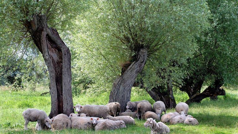 Owce na nadbużańskich łąkach