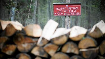 Wycinki w Puszczy Białowieskiej