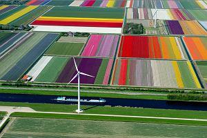 """Wow! Tulipany w Holandii z lotu ptaka przypominają """"pachnące kolorowe dywany"""" [ZDJĘCIA]"""