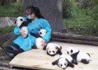 W Chinach można dostać pracę jako zawodowy przytulacz pand
