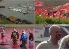 Krwawa tradycja na Wyspach Owczych: doroczna rze� delfin�w. Woda w zatoce sta�a si� czerwona od krwi [DRASTYCZNE WIDEO]