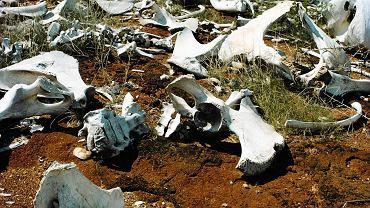 Cmentarzysko słoni. Galana Ranch, Kenia