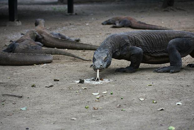 Park Narodowy Komodo: Tu żyją warany - największe na świecie jaszczurki [ZDJĘCIA]