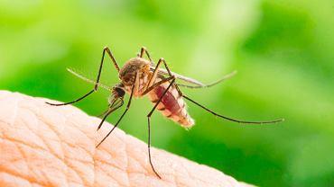 Uczulenie na komary, a dokładniej na substancję w jego ślinie, która do naszego organizmu trafia, gdy tan nas gryzie, pojawia się najczęściej u osób z obniżoną odpornością