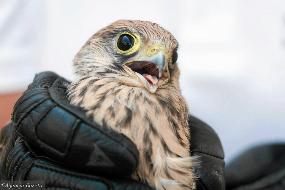 Drapieżny Ptak Znaleziony Przed Drzwiami Co Z Nim Zrobić