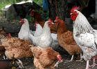 Zapłacisz jak za jajka z wolnego wybiegu, mimo że kura nie wychodziła z kurnika? Takich zmian chcą producenci