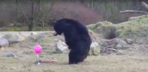 Co się stanie, kiedy grupa niebezpiecznych niedźwiedzi dostanie mały, różowy balonik?