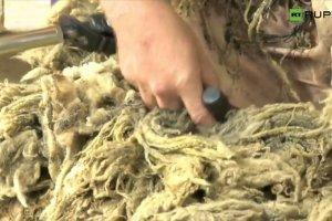 Tasma�ska owca uciek�a z farmy. Kiedy si� znalaz�a, nie by�o jej wida� spod we�ny
