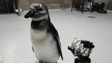 Janush w wieku ok. 15 miesięcy z zebrą