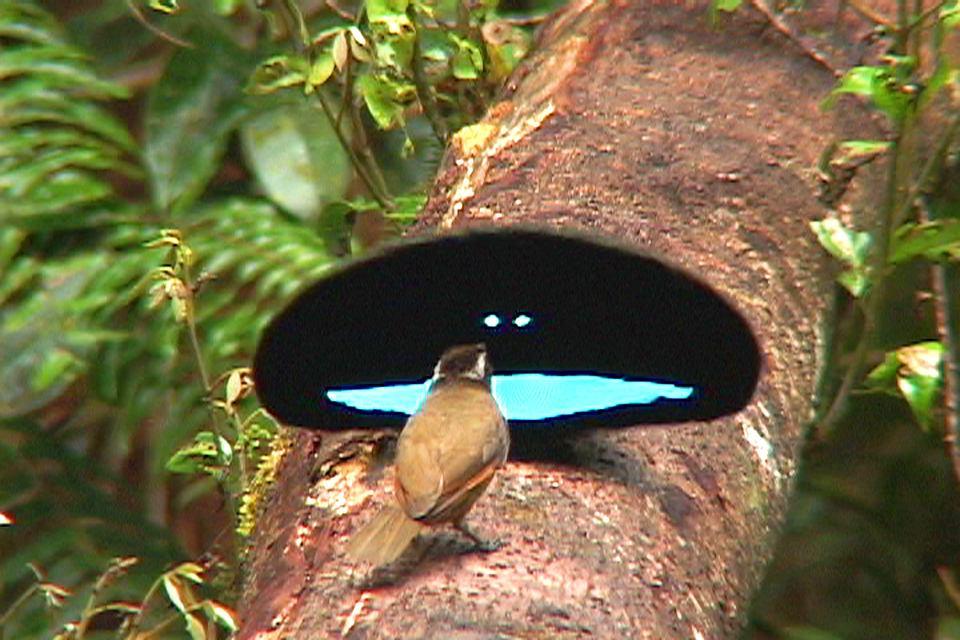 Samiec ozdobnika lirogłowego (z rodziny cudowronków, czyli rajskich ptaków) popisuje się przez samicą. Jego niebieskie pióra wyglądają wyjątkowo jaskrawo na tle plamy z czarnych piór