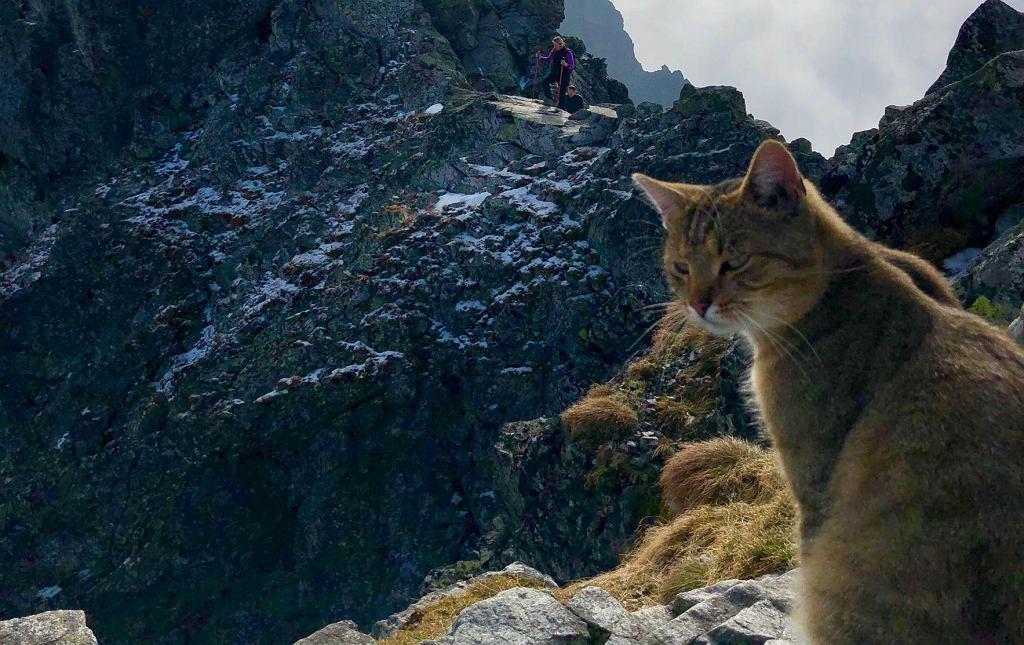 Kot turysta na szycie Rysów