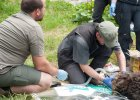 Nie żyje Eryk, jeden z najstarszych tatrzańskich niedźwiedzi. Najprawdopodobniej urodził się w 1989 r.