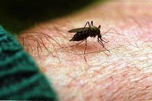 Sterylizacja samc�w metod� na zwalczanie plagi komar�w? Naukowcy chc� ograniczy� ich populacj�