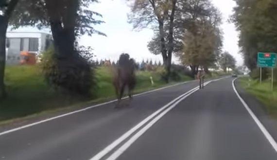 Wielbłąd na drodze koło Oświęcimia