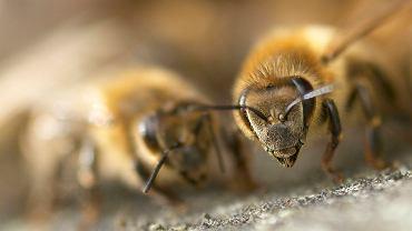 Pszczoły. Zdjęcie ilustracyjne