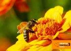 Apiterapia, czyli leczenie produktami pszczelimi. To ma sens?