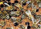 Zatrucie! To przyczyna �mierci ponad 5 mln pszcz�