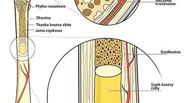 Kość zbudowana jest z dwóch rodzajów tkanki kostnej - zbitej, którą można znaleźć na powierzchniach kości płaskich i w trzonach kości długich oraz gąbczastej, która znajduje się wewnątrz kości płaskich, a także w nasadach kości długich.
