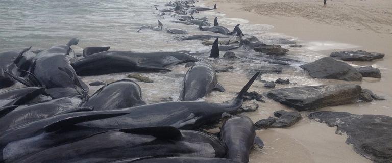 Morze wyrzuciło na plażę ponad 150 delfinów. Mimo akcji ratunkowej udało się uratować jedynie sześć