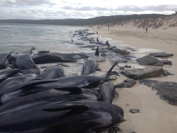 Akcja ratunkowa grindwali w Australii