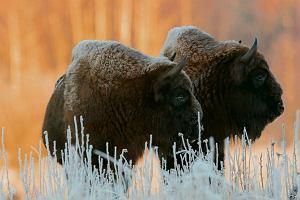 Najpierw na rzeź pójdą bobry, potem żubry i wilki. Rząd PiS chce strzelać  do zwierząt chronionych