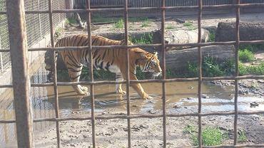 Jeden z tygrysów w hodowli pod Śremem