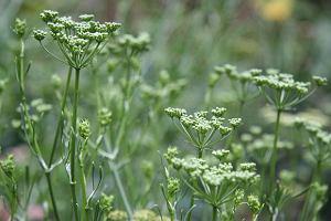 Sezon ziołowych zbiorów w rozkwicie. Co można i warto z nich zrobić?