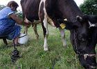 Dlaczego doimy krowy, a nie świnie? Prawdy i mity o mleku
