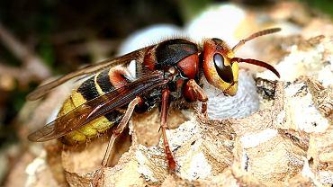 Szerszenie to owady, które najlepiej czują się w zaciemnionych i ustronnych miejscach, dlatego też właśnie w takich miejscach najczęściej budują swoje gniazda