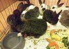Dwulatka rzucała królikami o podłogę. Zwierzęta mają połamane łapki, są pod opieką weterynarza