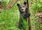 Jeszcze miesiąc temu błąkała się w Bieszczadach. Dziś niedźwiedzica bawi się na swoim wybiegu