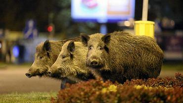 Dziki na środku skrzyżowania ul. Obotryckiej z Przyjaciół Żołnierza