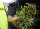 Policja namierzy�a upraw� konopi. Ledwie upchn�li to w radiowozie [WIDEO]