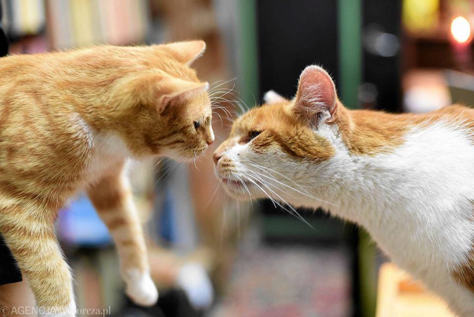 Kot Dante Ma Następcę To Jego Rudy Brat Wideo Zdjęcia