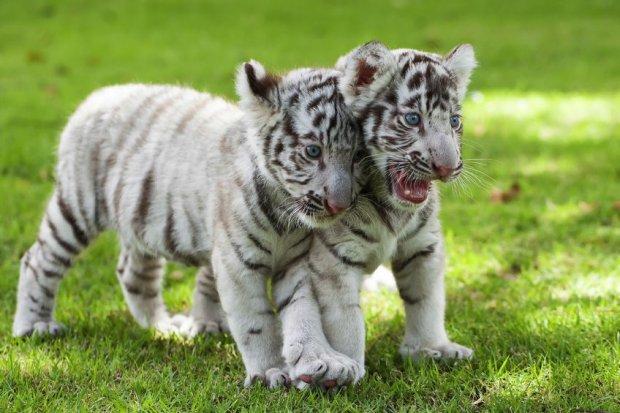 Tragedia bia�ych tygrys�w. Okaleczone przez cz�owieka