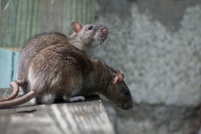 Szczury przenoszą m.in. bakterie odpowiedzialne za rozwój tularemii
