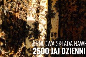 Wiedzieli�cie, �e kilogram miodu powstaje z 4 milion�w kwiat�w? 7 ciekawych fakt�w o pszczo�ach