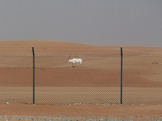 Rezerwat oryksów arabskich - Oman / fot. Kathryn James