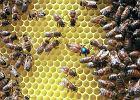 Rolnik z Pomorza opryskał pole rzepaku. Przez chemikalia zginęły pszczoły z 200 uli