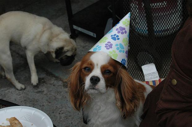 Pies imprezowicz (Party Dog with Hat)
