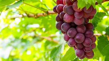 Taniny występują w dużych ilościach m.in. w owocach (ciemne winogrona, truskawki, granaty, maliny, jabłka, żurawina)